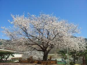 대성당 앞 벚나무